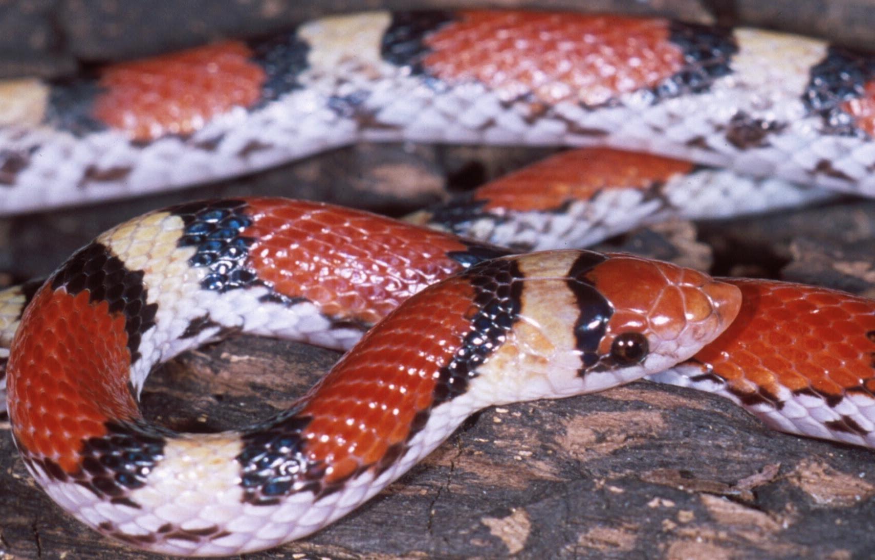 Resultado de imagem para Cemophora coccinea