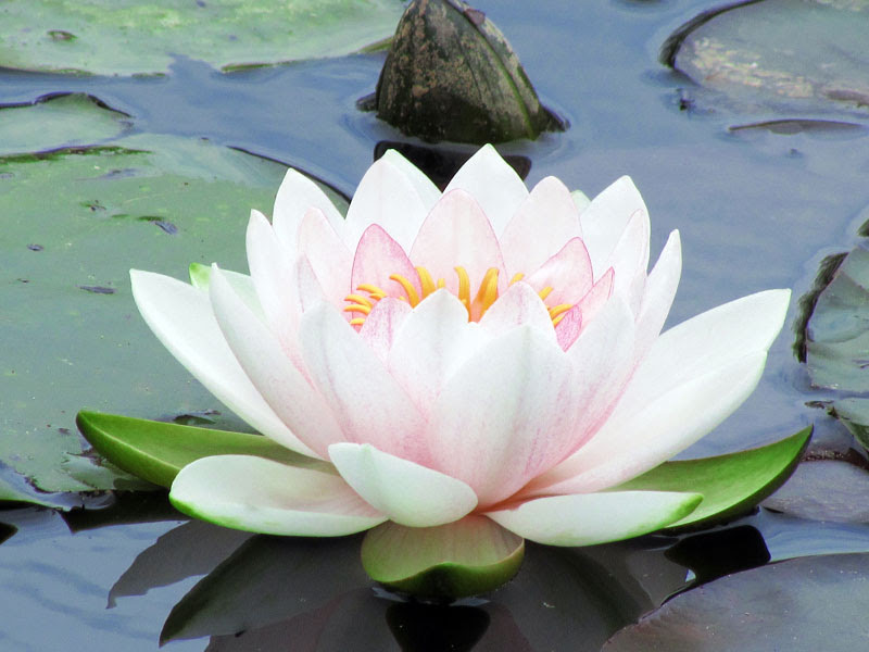 Los Principios Activos Para La Belleza La Flor De Loto