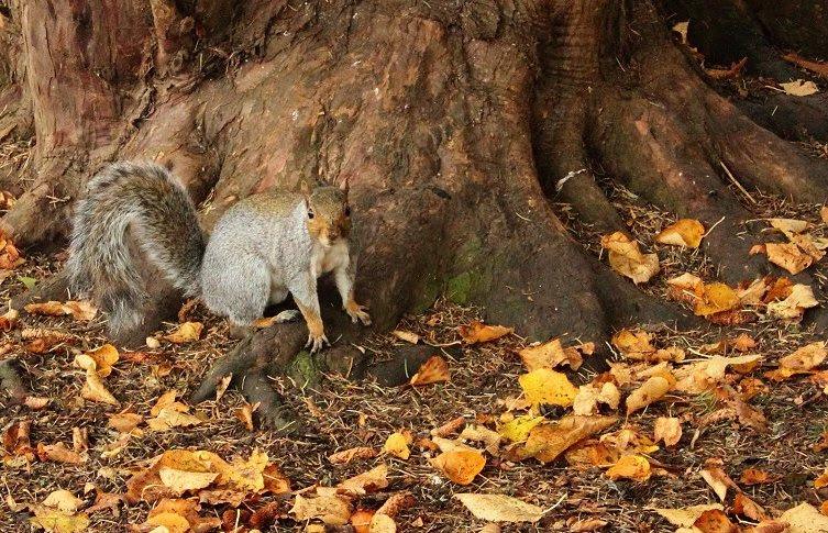 Churchyard squirrel