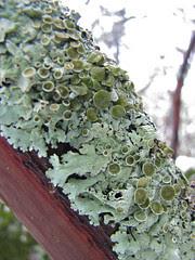 green starburst lichen?