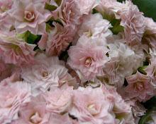 Söta som små rosor
