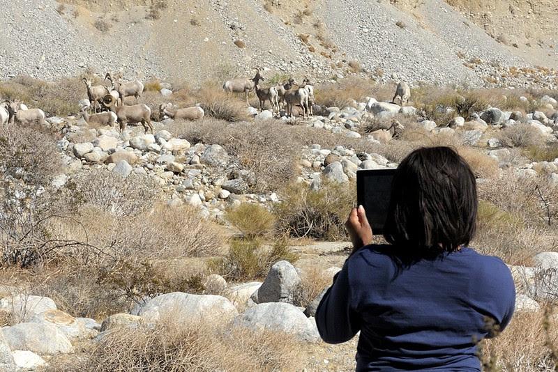 DSCN0495 Desert Bighorn Sheep and iPad