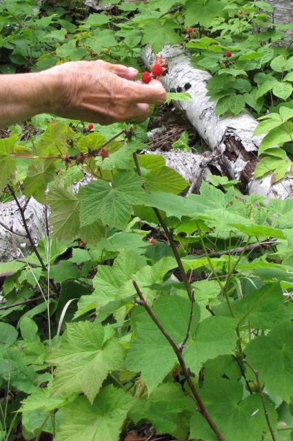 picking thimbleberries