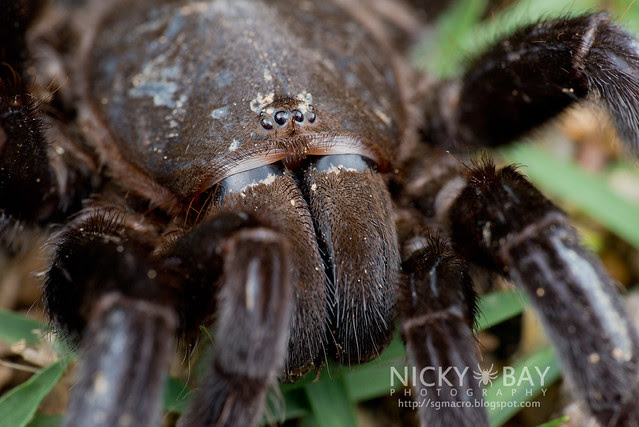 Tarantula (Theraphosidae) - DSC_1252
