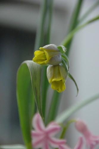 Fritillaria (pallidiflora?)