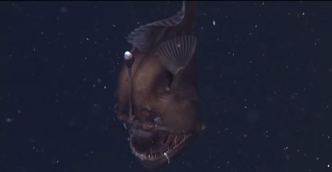"""Cientistas conseguem novas imagens do Peixe """"Diabo-Negro"""""""