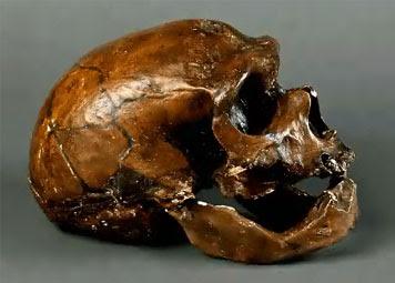 Crâne de l'Homme de Néanderthal (Allemagne)