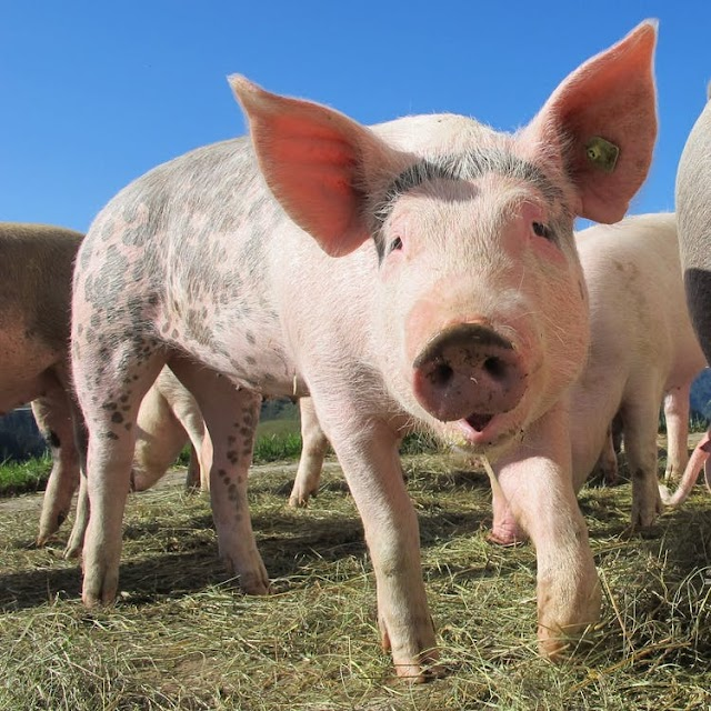 तीन छोटे सूअर -The Three Little Pigs