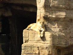 Lioness sunning herself
