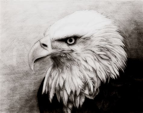bald eagle  elaira  deviantart