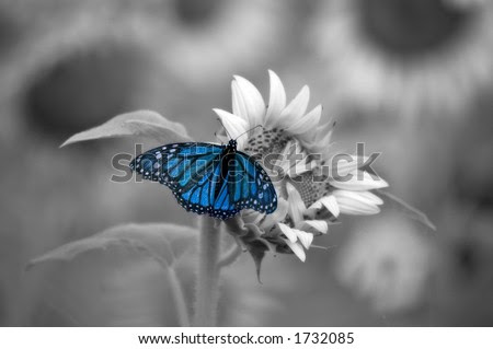 Stock Photo Blue Butterfly On Sunflower With A Soft Black And White