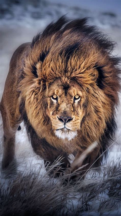 lion wallpaper    click  image iphone