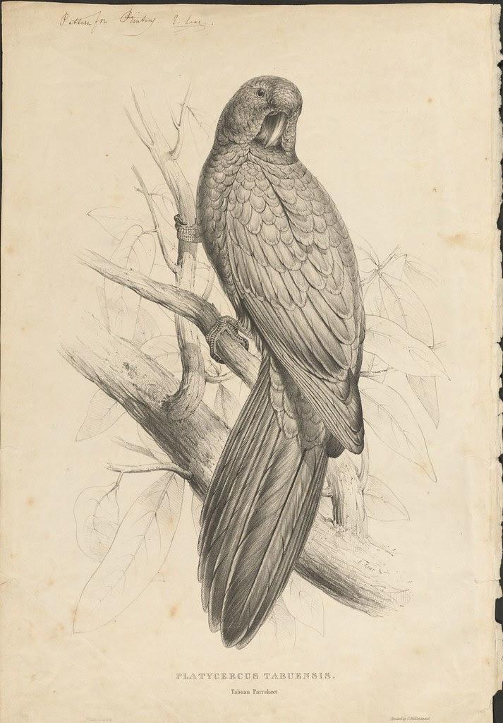 Tabuan parakeet (lithograph)