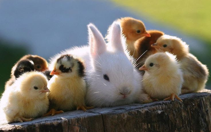 baby chicks and bunny