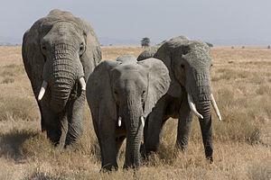 Three African Bush Elephants in Serengeti. Fra...