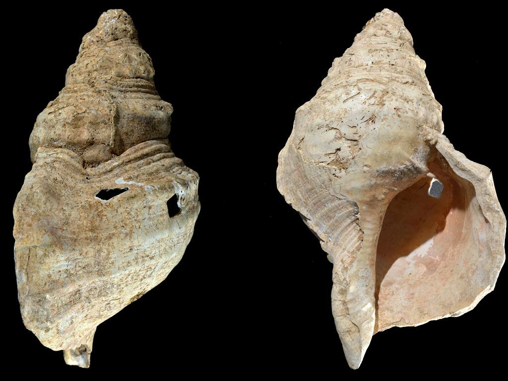 This combination of images provided by researcher Carole Fritz in February 2021 shows two sides of a conch shell discovered in a French cave with prehistoric wall paintings in 1931. Using modern microscopy techniques to examine how the shell was modified and hiring a French horn player to test it out, they found the shell could produce C, C-sharp, and D notes. By carbon dating other related artifacts in the cave, researchers estimate the age to be around 18,000 years, making it the world's oldest seashell instrument. (Carole Fritz via AP)