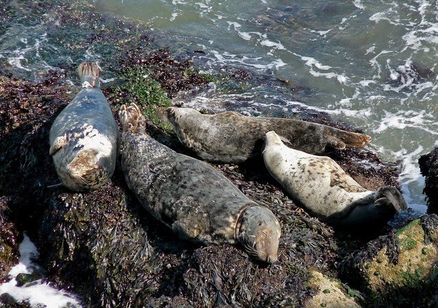 24903 - Seals at Worms Head, Gower