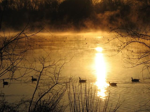 Geese at sunrise on Lake Carnegie