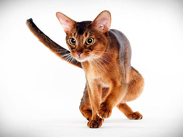 Cat Breed Photo Gallery Animal Planet