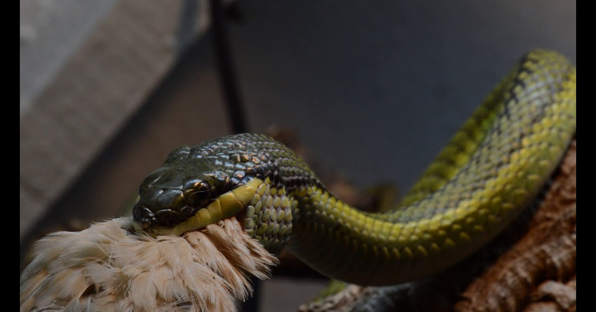 Pet Snakes And Dogs Baron S Racer Quail Dinner Video Of The Wobble Dance