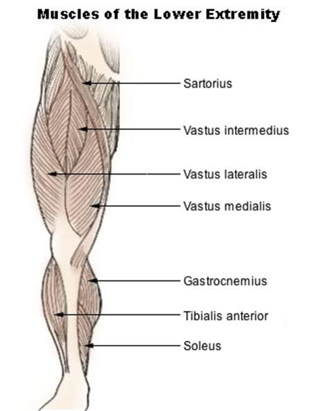 Vastus intermedius muscle   Wikipedia