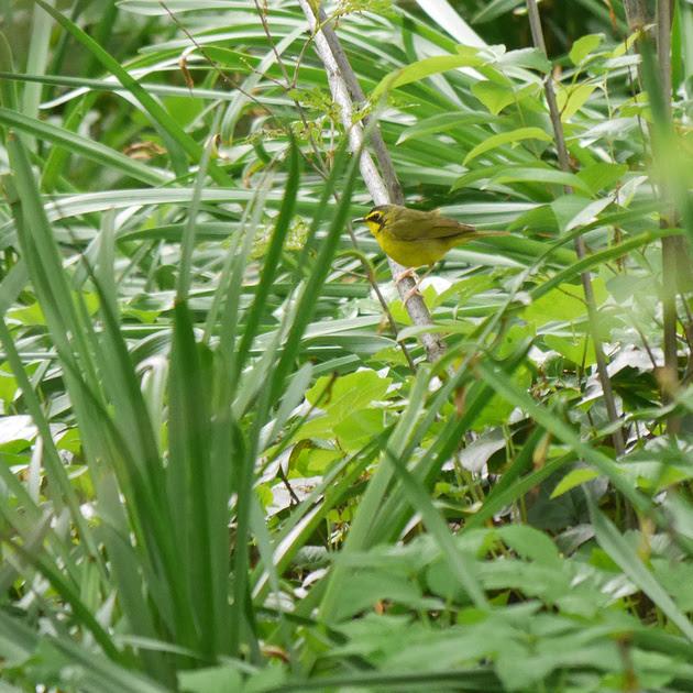 Ed Gaillard: birds &emdash; Kentucky Warbler, Central Park