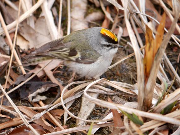 Ed Gaillard: birds &emdash; Golden-Crowned Kinglet, Central Park