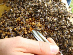 Colônias de abelhas mais diversas geneticamente são também mais saudáveis, de acordo com pesquisa da Faculdade de Wellesley (Foto: Divulgação / Richard Howard)