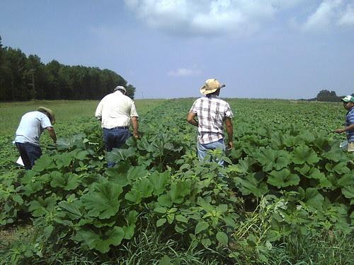 Campesinos harvesting summer squash