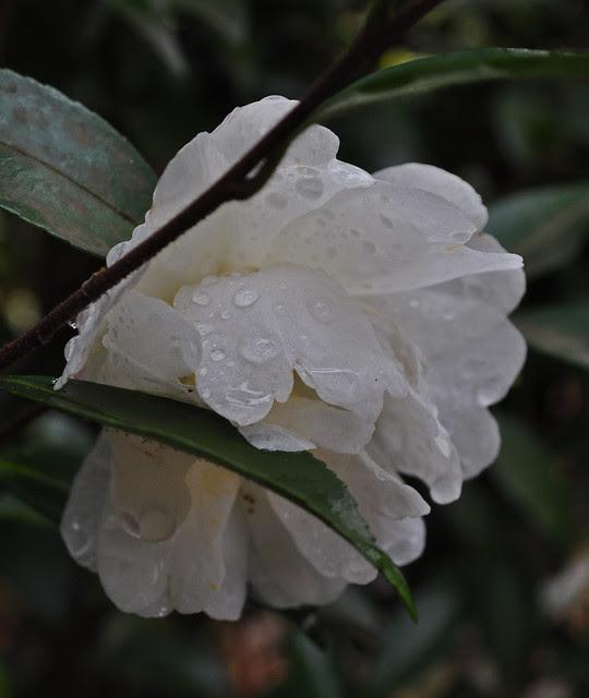 Camellia sasanqua 'Autumn Rocket' (1)
