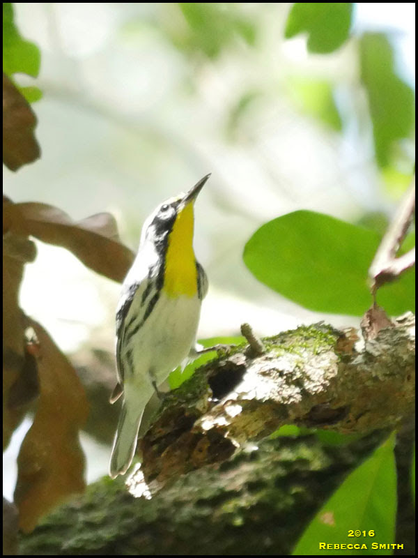 Yellow-throted Warbler