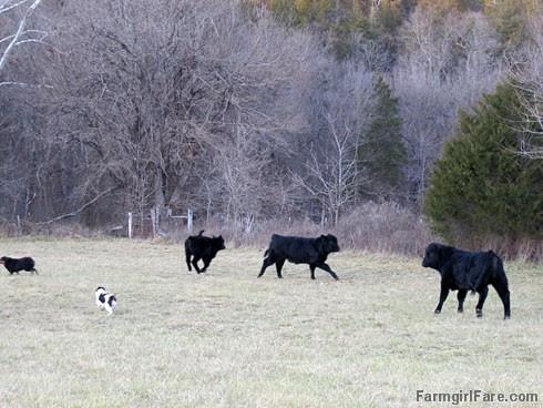 Lucky Buddy Bear, ace cattle dog (2) - FarmgirlFare.com