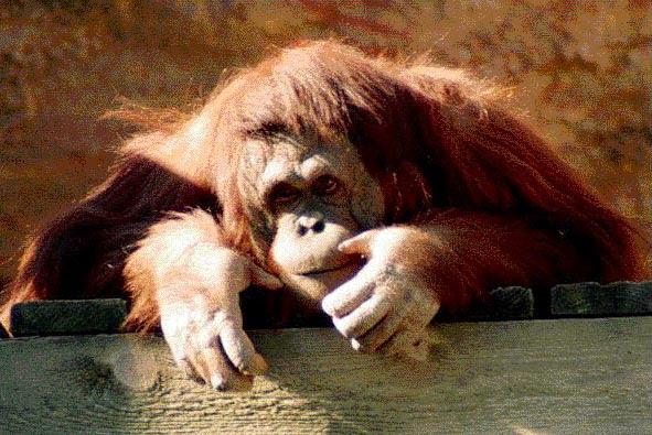 photograph of orang-utan