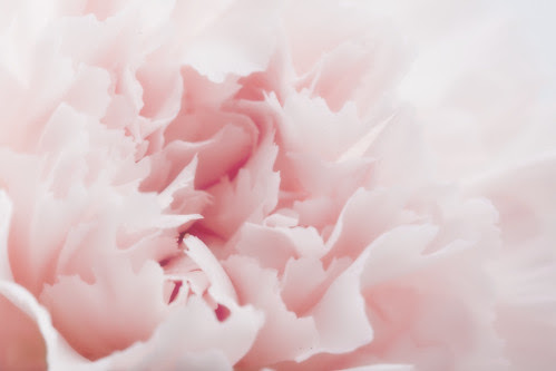 """Carnation Or """"And Now For Something Completely Different"""" by Cayusa"""
