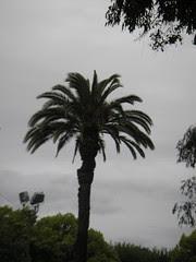 Pleasanton Palm Trees! LOL!