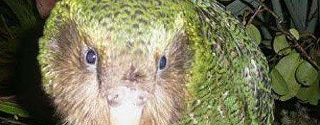 A green kakapo is shown on Codfish Island, off New Zealand's South Island, an offshore sanctuary where the flightless birds have been bred since 1990. (AFP Photo/Department Of Conservation)