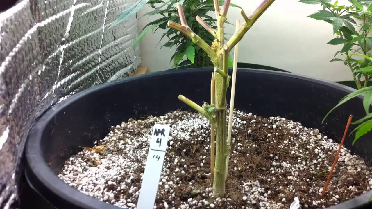 Can I Re-Veg a flowered and harvested marijuana plant ...