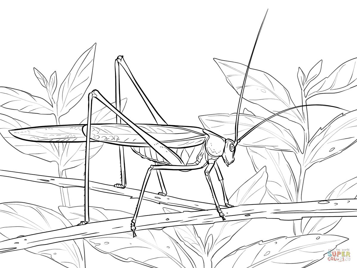 katydid cricket coloring pages