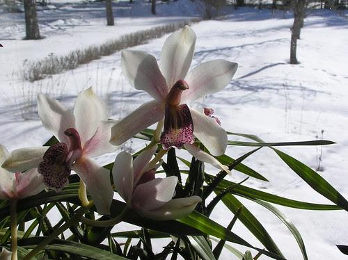 Cymbidium still in flower