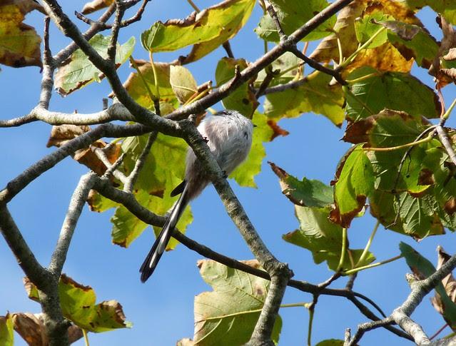 24887 - Long Tailed Tit, Bosherston Lily Ponds