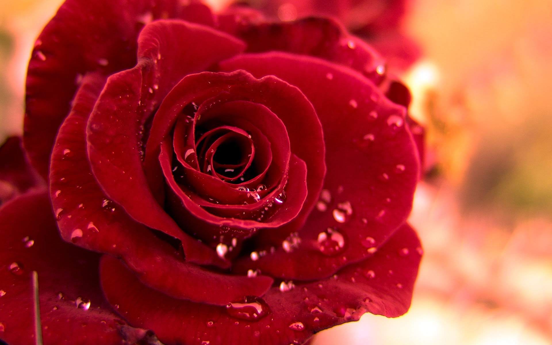 Red Roses Wallpapers Hd A5 Hd Desktop Wallpapers 4k Hd