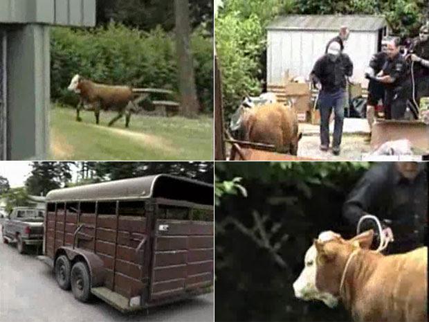 Vaca conseguiu fugir por uma hora