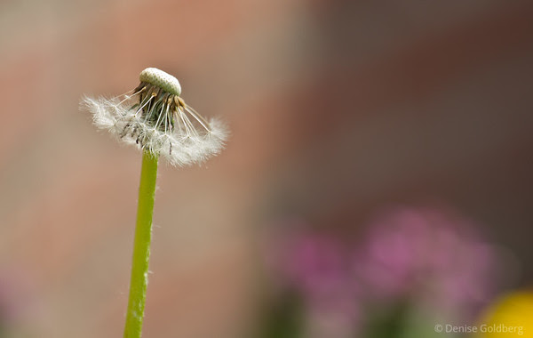 dandelion, gone to seed