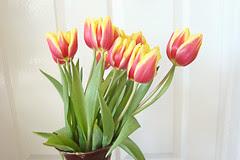 Tulipes Mars012v
