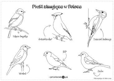 Ptaki Zimujące W Polsce Kolorowanka Printotekapl
