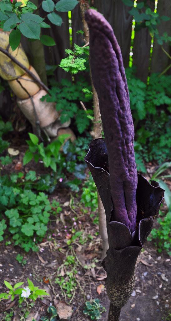 Amorphophallus konjac 3