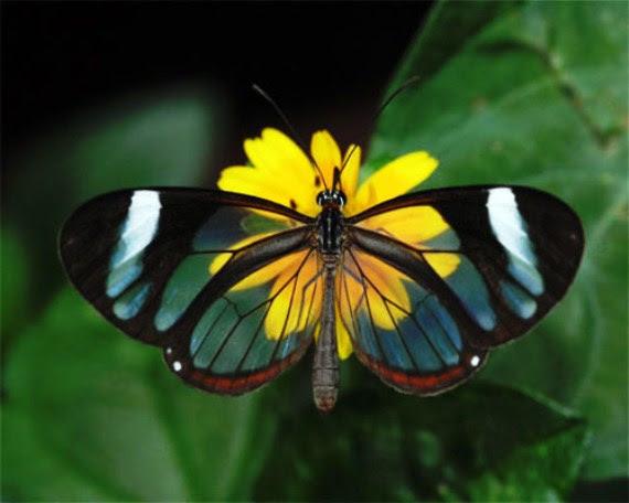 الفراشة الزجاجيه الشفافه فراشة الزجاج Greta oto بالصور 432915.jpg