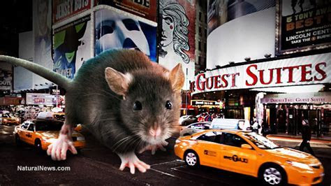 Overrun by giant rats, NYC to try city wide rat vaccination campaign to cull population (part