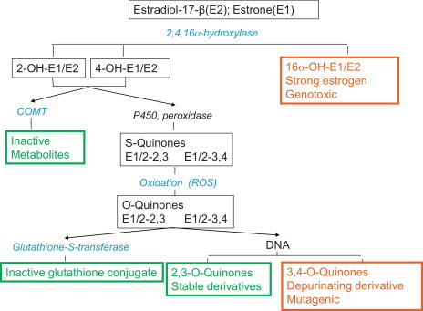 Estradiol (E2) and estrone (E1) are converted by the hydroxylase-enzymes into ...