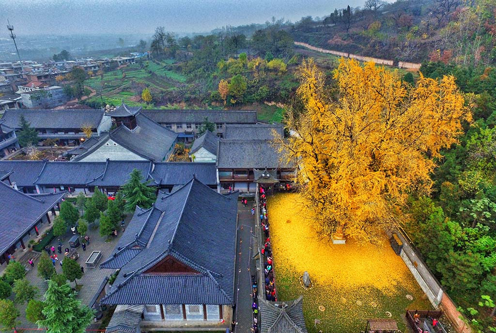 A 1400 year old ginkgo tree in a temple in Xi'an, China